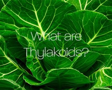 What are Thylakoids