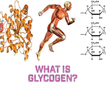 What Is Glycogen