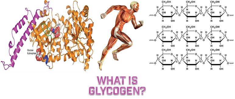 What Is Glycogen?